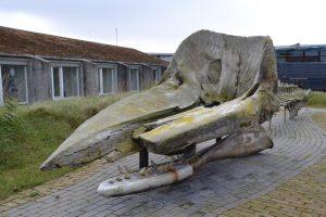 Potvis Egmond aan Zee